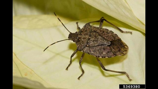 Scientists Want you to Report Your Stink bug Sightings; Here's how