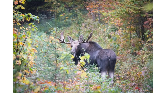 Vermont Fish & Wildlife: Deadline for the 2017 Moose Hunting Permit Lottery