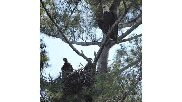 Record High Number of Nesting Bald Eagles in New York