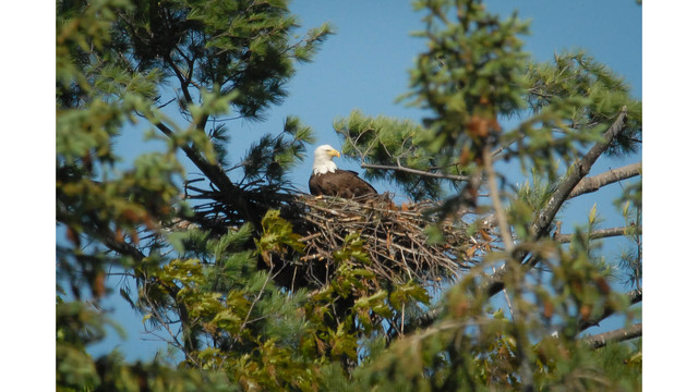 Wildlife Officials:  Vermont's Bald Eagle Population on the Rise